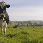 cow at Petaluma dairy belt