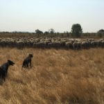 Two black dogs herd a flock of sheep among golden grass.