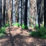 Charred and blackened redwoods with green branches sprouting from their bases.