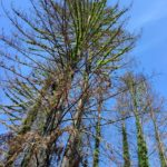 Green branches sprouting from tall, skinny redwoods against a blue sky.