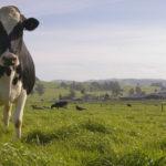 cow at Petaluma dairy belt