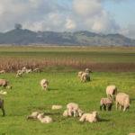 A herd of sheep graze an open pasture at Cloudy Bend.