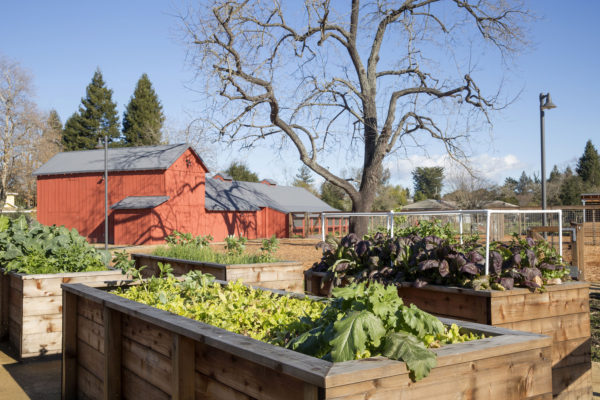 Raised wooden planter boxes full of vegetables at Bayer Farm