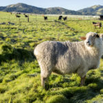 Sheep in a green field at the Burns property.
