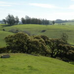 Green rolling wills with a water trough in the foreground, oaks in the middle, and eucalyptus in the background.