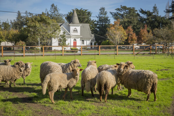 Several sheep in green field.