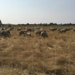 A wire fence in the foreground with a flock of sheep grazing golden grass in the middle and trees and blue sky in the background.