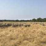 A flock of sheep graze golden grass with green trees and blues skies in the background.