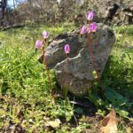 Small pink wildflowers growing up around a rock.