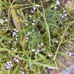 Small white and purple flowers, Clara Hunt's milkvetch.