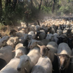 Sheep being hereded during a grazing operation at Calabazas Creek Open Space Preserve.