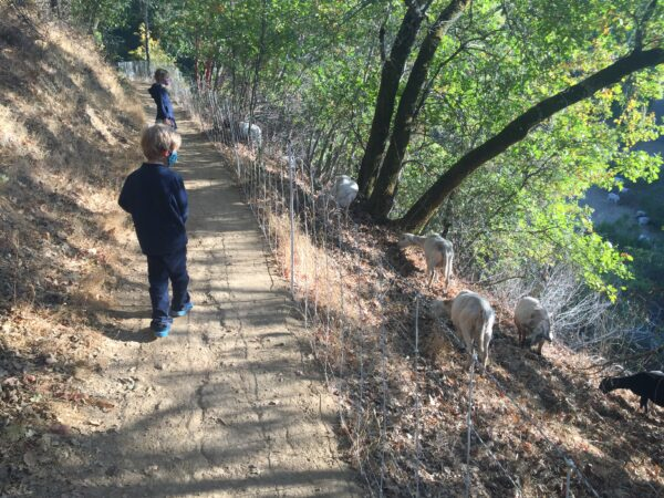 Childred walking on trail that is lined with a fence, and goats on the other side of the fence.