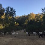Goats and sheep grazing in a field with trees in the background
