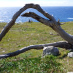 Fallen tree lying in a green field with the ocean in the background, at Kashia Coastal Reserve.