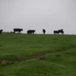 Cows at Pacheco Dairy