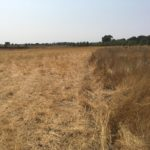 Long brown grass on the right side with shortened, grazed brown grass on the left.