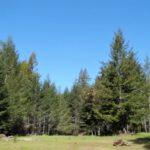 Green grass and green redwood trees with blue sky.
