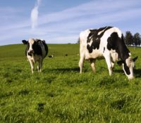 Black spotted dairy cows grazing in a green field with blue skies overhead